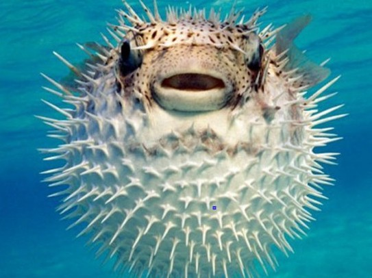 Consumo di risorse naturali a rischio 22mila specie nel for Pesce palla immagini