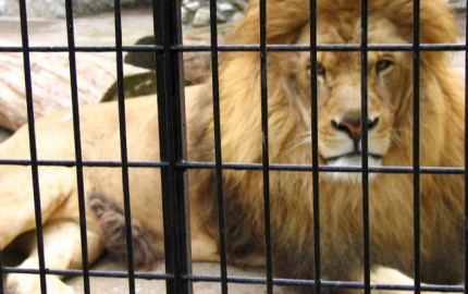 leone-gabbia