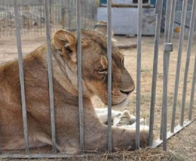 Animali maltrattati, maxi sequestro in circhi Sardegna