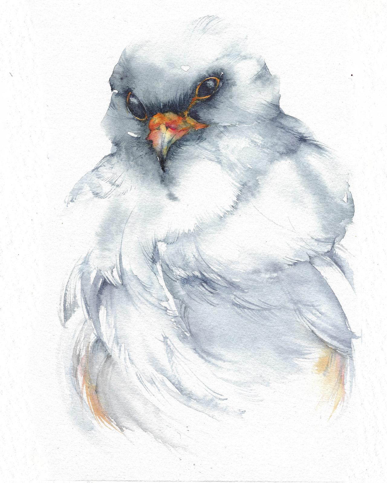 Amato falco-cuculo-Spec 1 - Falco-vespertinus-silvia-molinari  QZ36