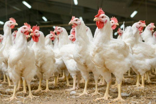 Risultati immagini per classi pollaio