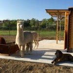 Alpaca di Marano